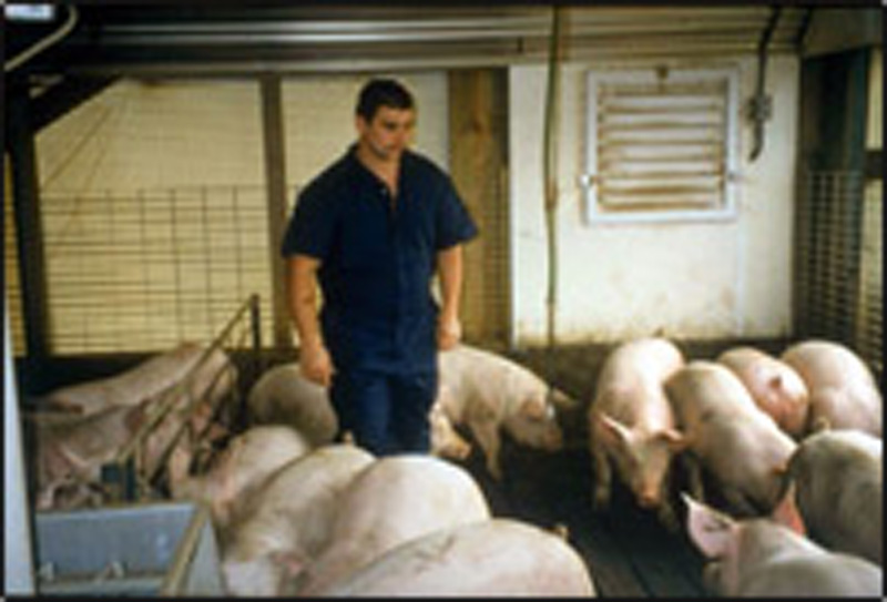 Pigs will be easier to handle at the plant if producers walk through finishing pens to teach pigs to quietly move away.